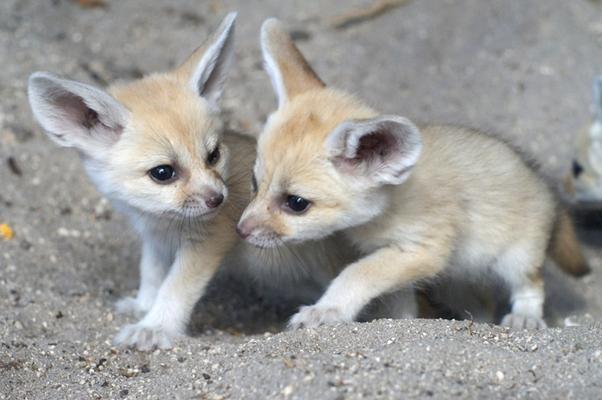 Resultado de imagem para raposa do deserto
