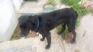 Μαύρο αρσενικό σκυλάκι με μπλε λουράκι περιφέρεται στην τέταρτη μαρινα Γλυφάδας. Το έχει χάσει κανείς?