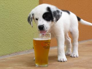 Quem nunca derrubou um pouco de bebida no chão e falou 'deixa ai que meu cão lambe' ou fez isso apenas por diversão? Pois é, certamente não sabia do risco que estava oferecendo ao seu cão. A bebida alcoólica pode levar o cachorro á dificuldade de respirar e o matar. Não é engraçado seu cão embriagado, é fatal.