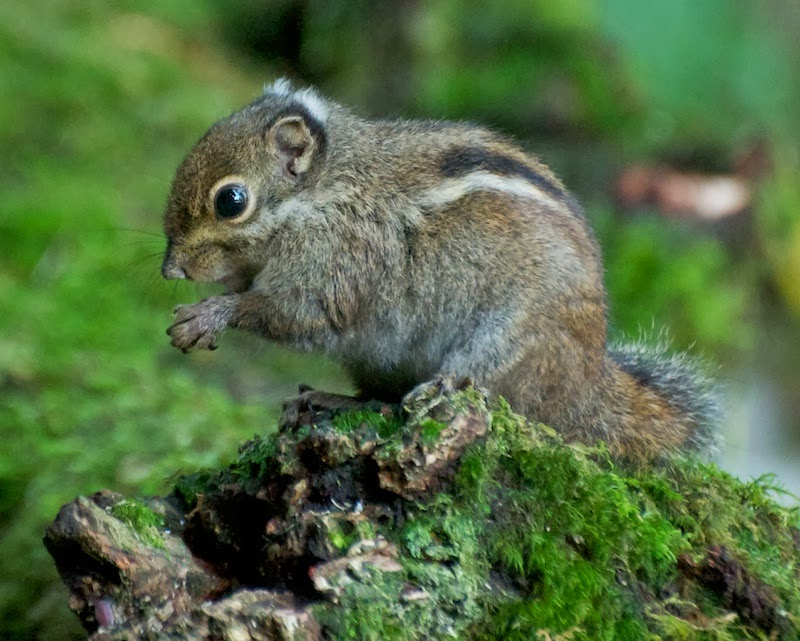 Maritime Striped Squirrel (Tamiops maritimus maritimus)