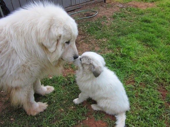 Everything about your Great Pyrenees  LUV My dogs
