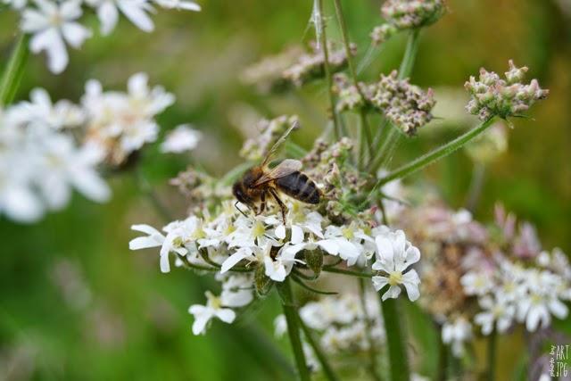 pszczoła, łąka, owady