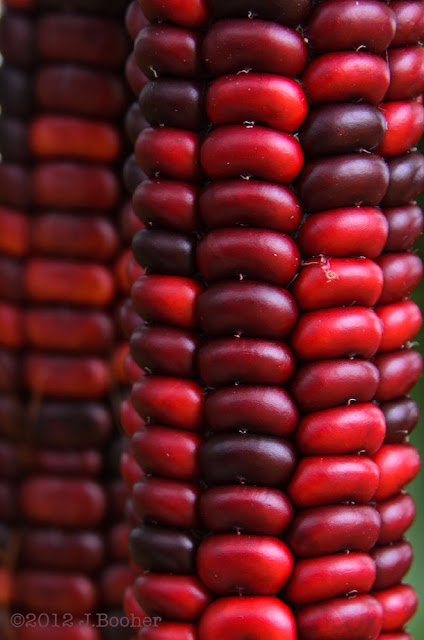 scarlet, red, Native American, Indian Corn