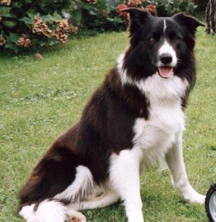 border collie dog hound canine pooch canis bow-wow despicable fellow qen txakurra it gos pas pes hond koer aso koira chien can kutya hundur madra cane suns kelb pies perro mbwa kopek ci anjing