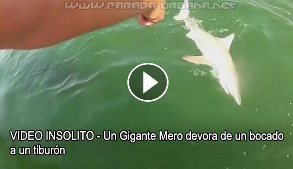 VIDEO INSOLITO - Un Gigante Mero devora de un bocado a un tiburón