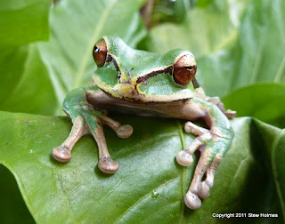 Green, angular frog sitting on leaf
