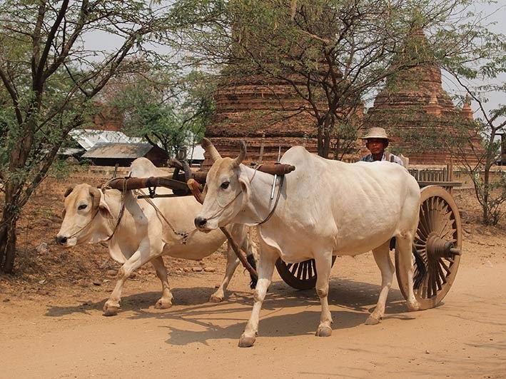 Ox cart Bagan
