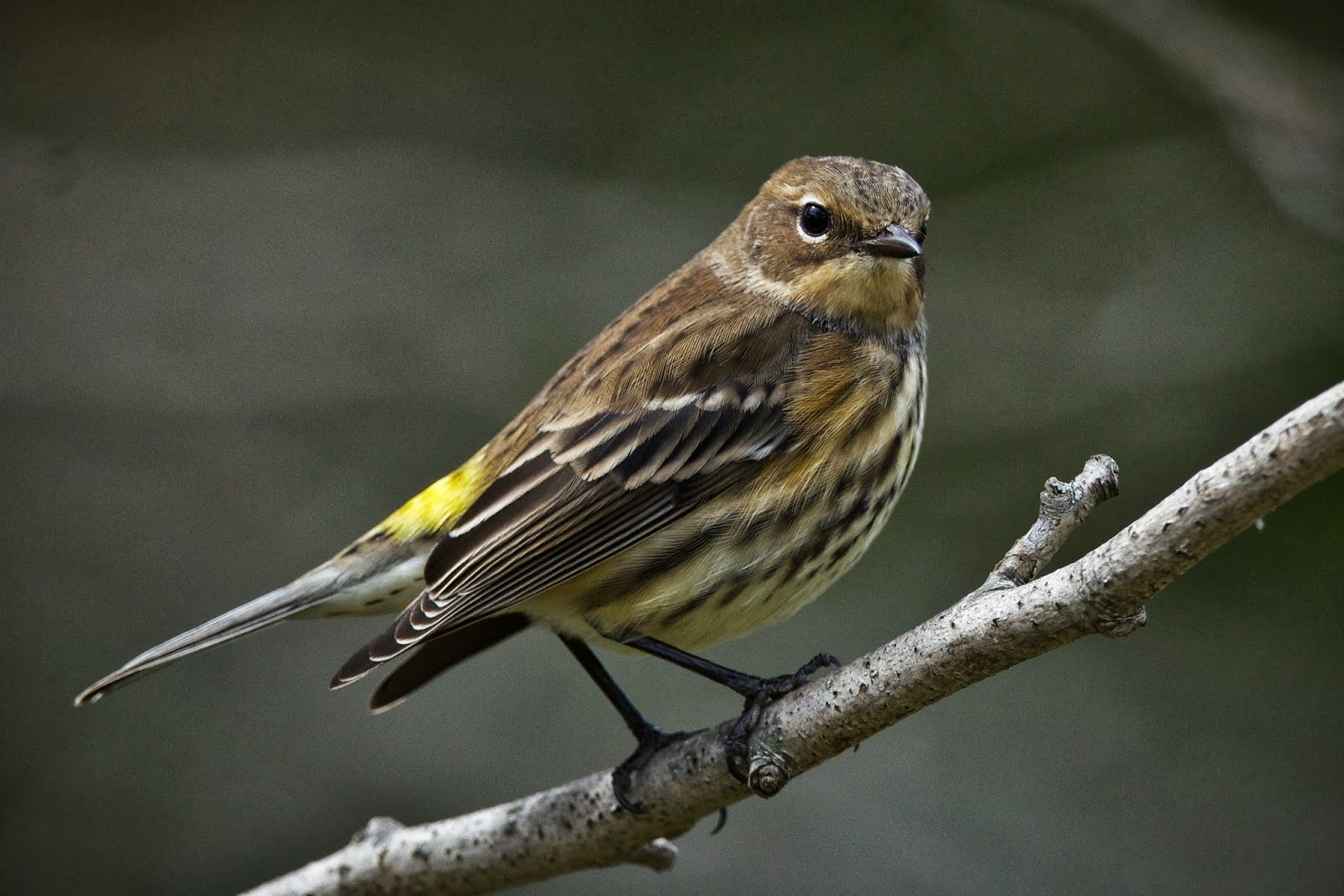 Feather Tailed Stories  Yellow-rumped Warbler
