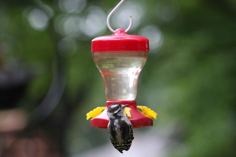 Downy Woodpecker Nest Downy Woodpeckers Nest in a