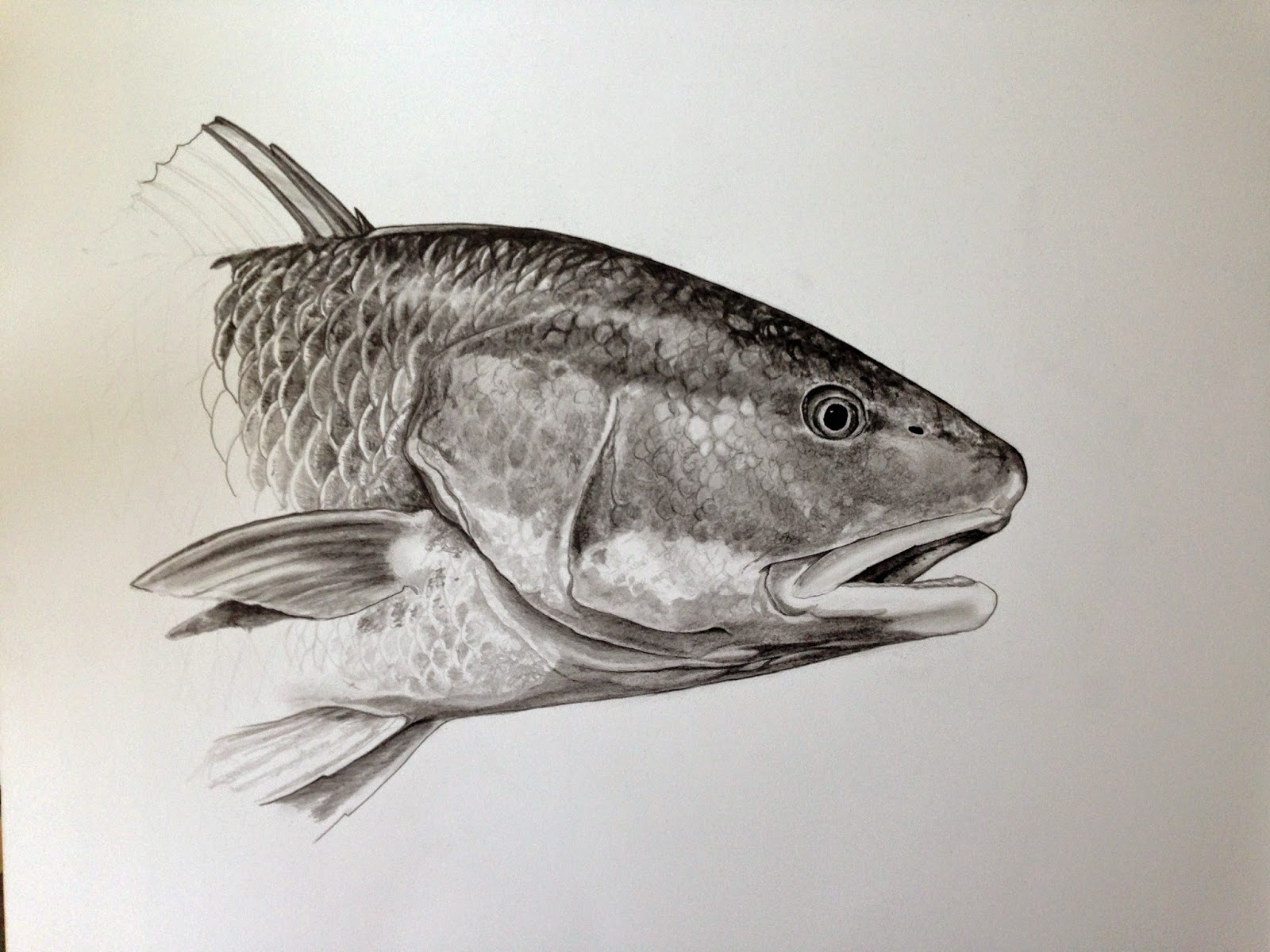 Redfish Drawings Drawing of jen s redfishRedfish Drawing