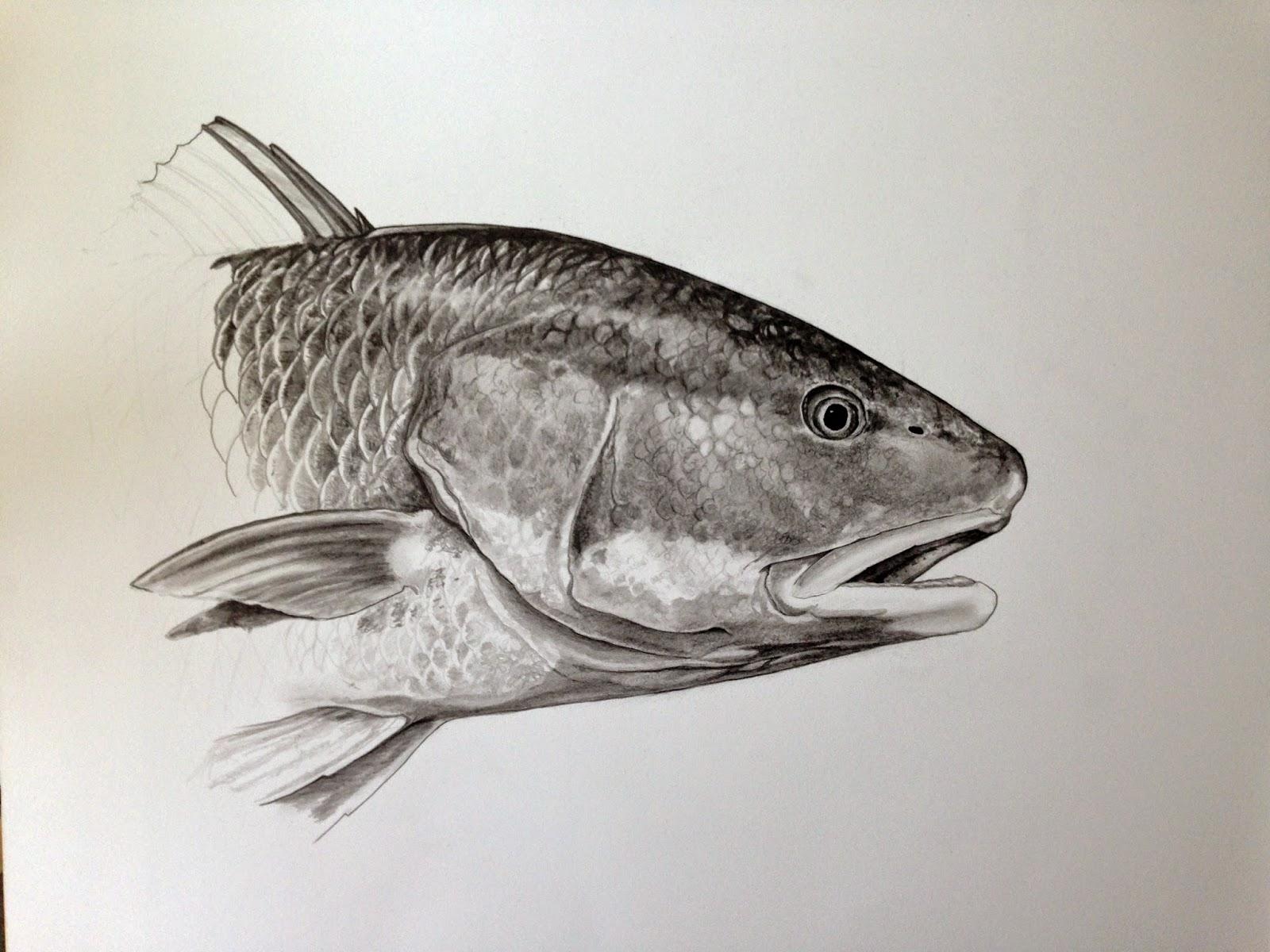 Redfish Drawings Drawing of jen s redfishRedfish Drawing