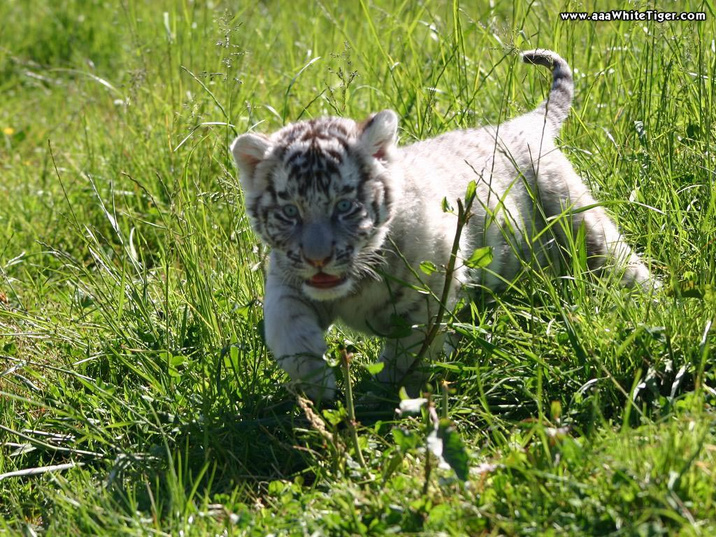 Baby siberian tiger wallpaper - photo#13