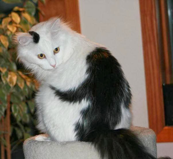 Funny cats - part 80 (40 pics + 10 gifs), cat with monkey shape fur on his back
