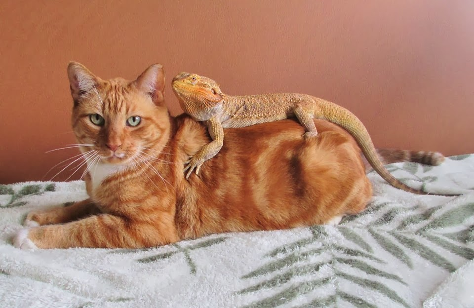 Funny animals of the week - 7 February 2014 (40 pics), lizard hugs cat picture
