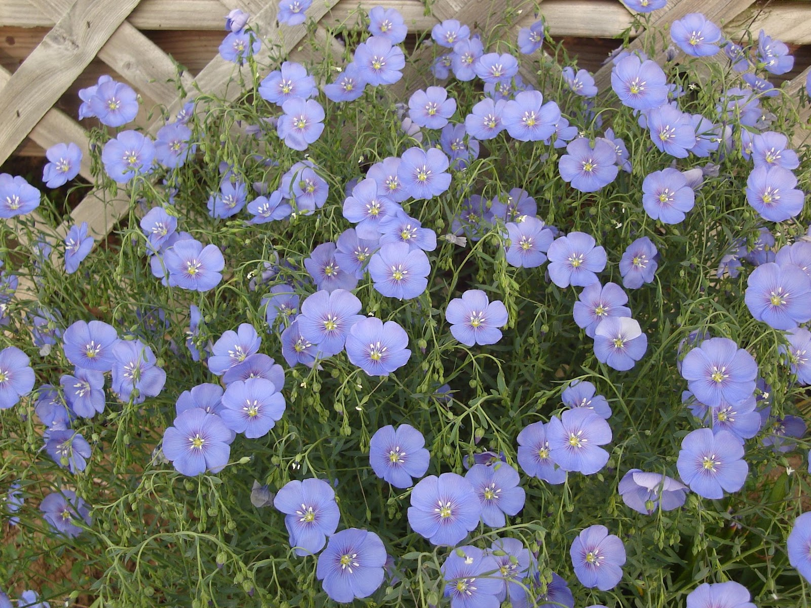 Blue Flowers Perennial