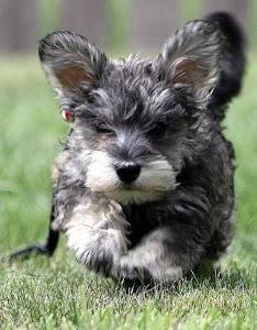 Miniature Schnauzer Dog Food Recipes