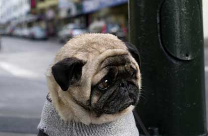 Cutest Dog Breeds In The World Pugs