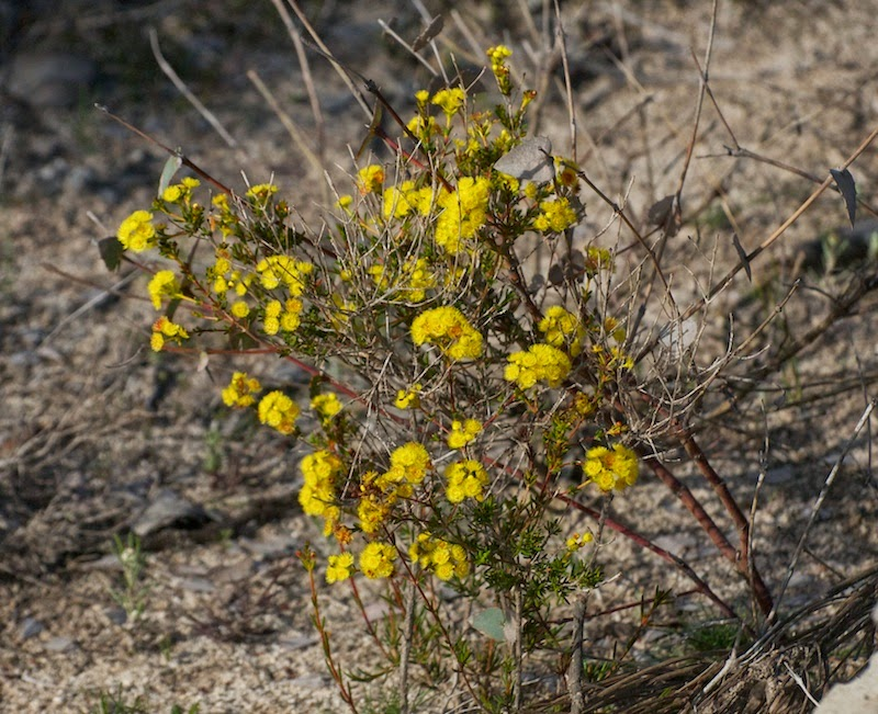 Golden Featherflower (Verticordia serrata)