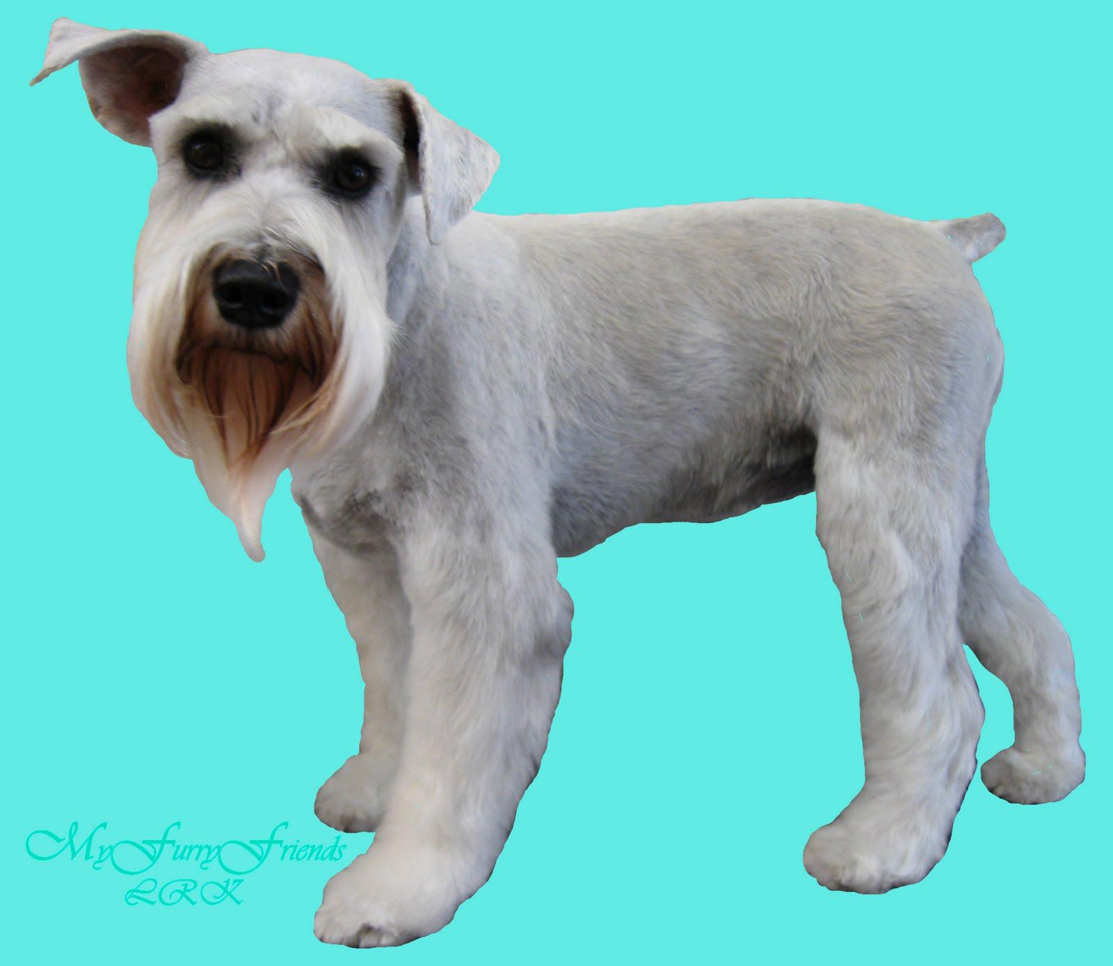 Mini schnauzer haircuts