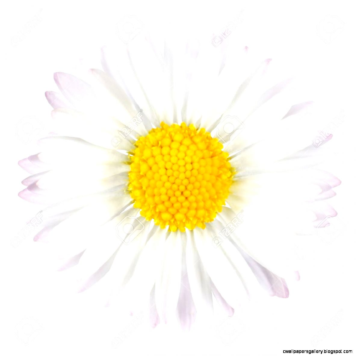 White Daisy Flower With Yellow Center Isolated On White Background