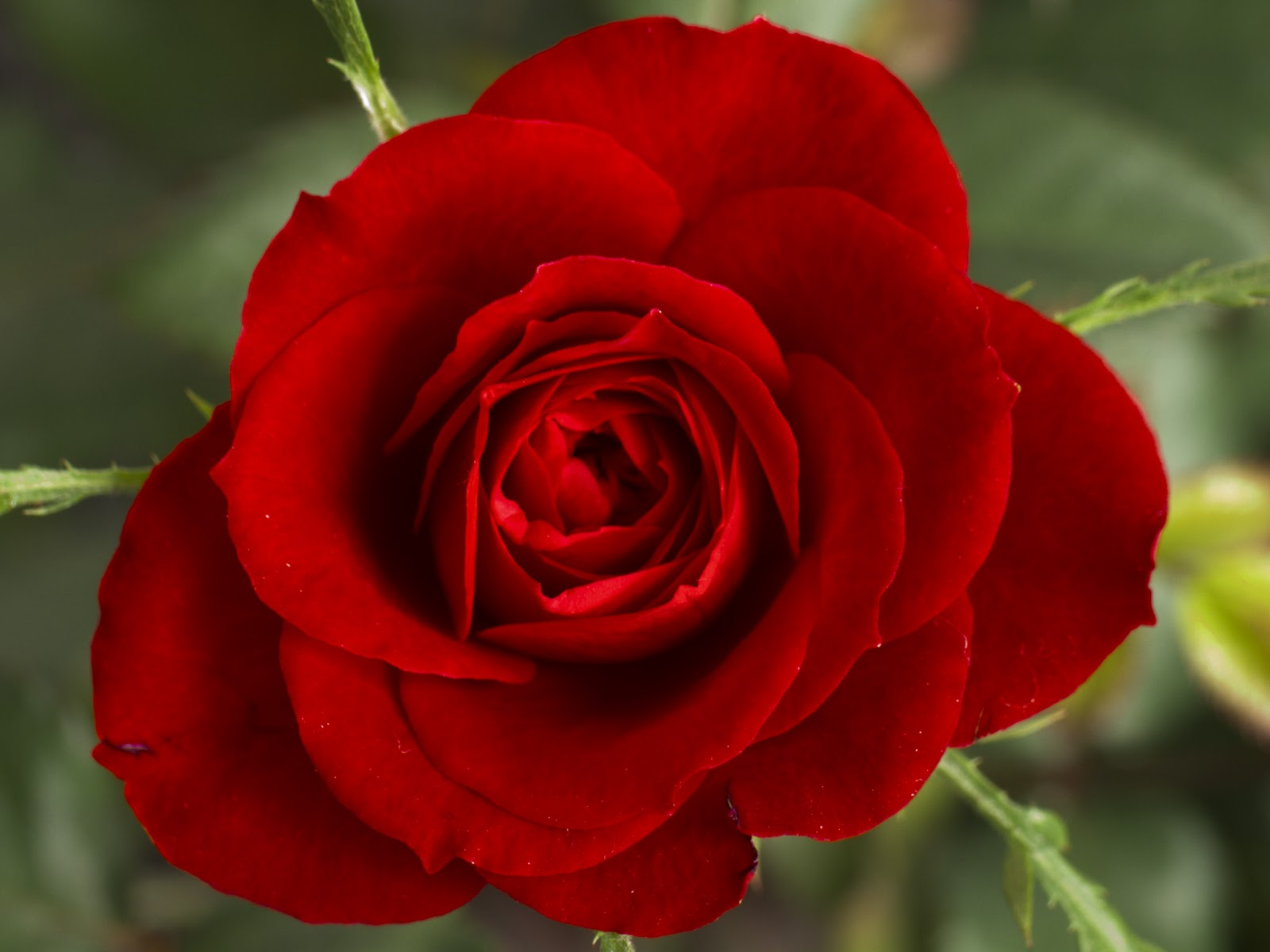 Flower Wallpapers Flower Red Rose