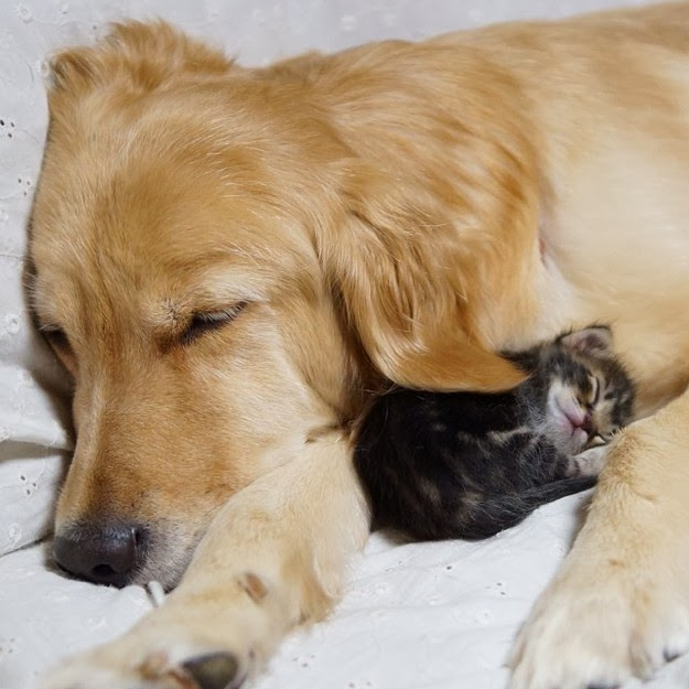 Ponzu the Golden Retriever and Ichimi the orphan kitten4