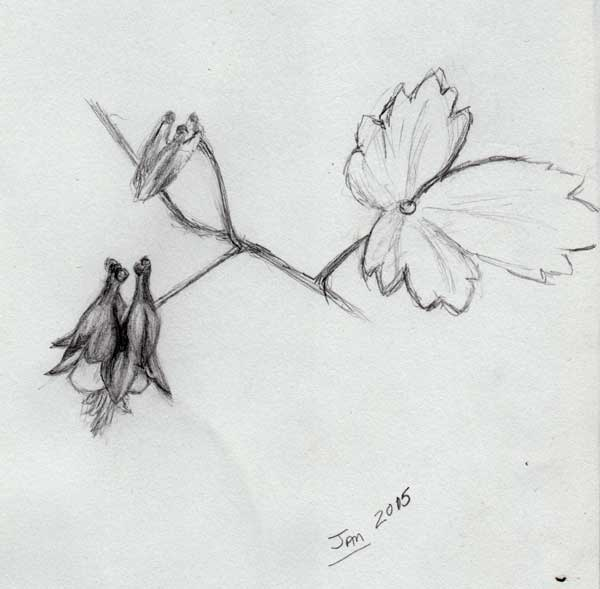 Columbine Flower Line Drawing : Kat walk designs january