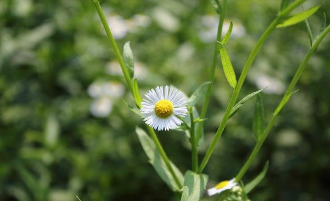 Daisy Fleabane Flowers
