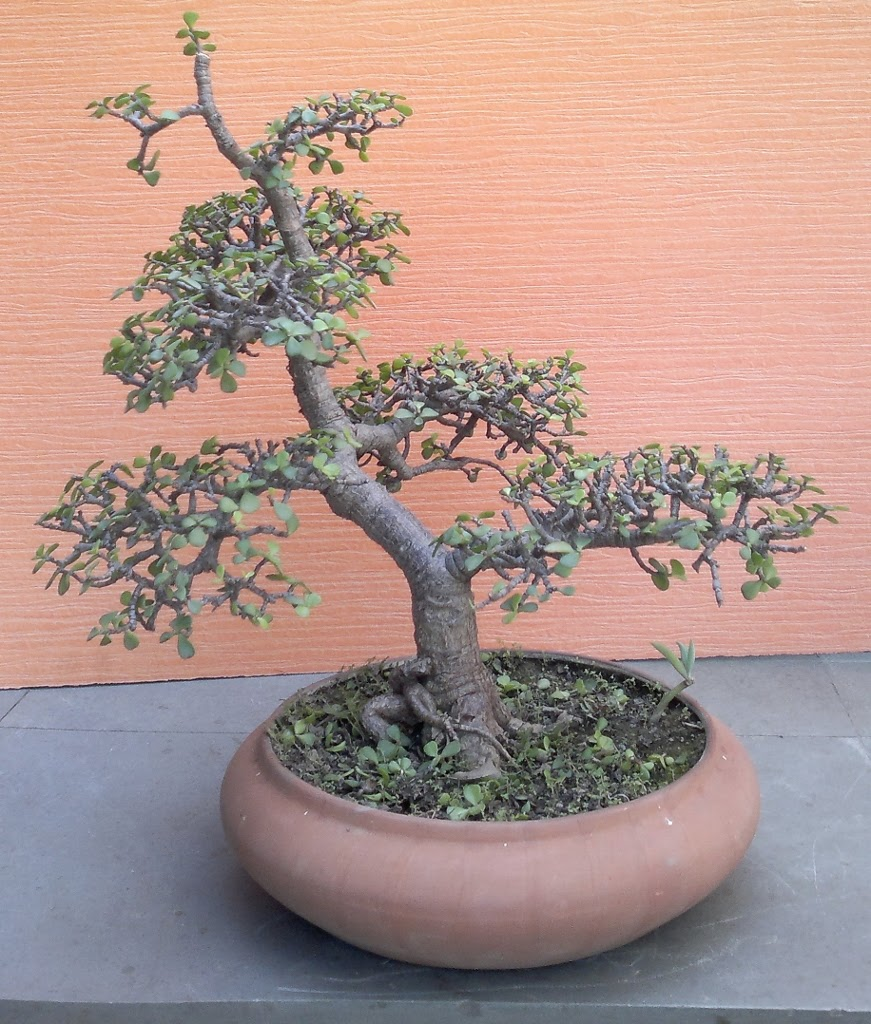 JADE BONSAIS FOR BEGINNERS BONSAIS PLANTS AS GIFTS LANDSCAPING