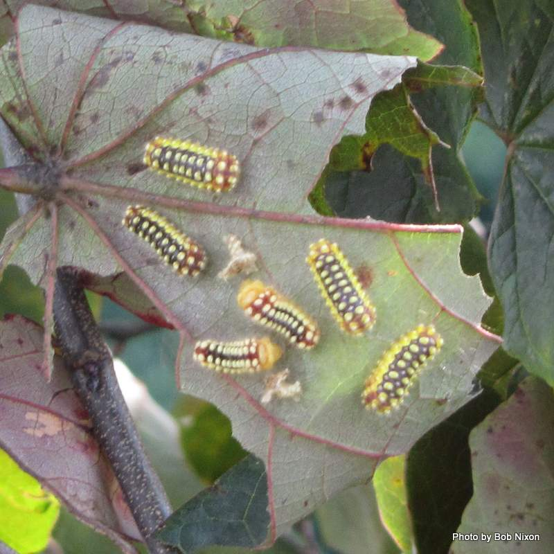 Caterpillars That Sting http://groweat.blogspot.com/2012/08/gardeners-beware-some-caterpillars-can.html