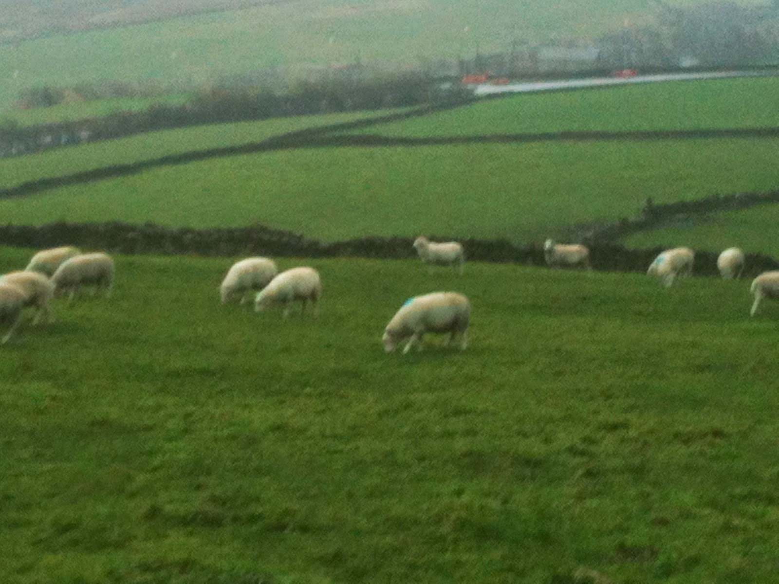 Proof sheep come down from the hills in winter #lifeonpigrow