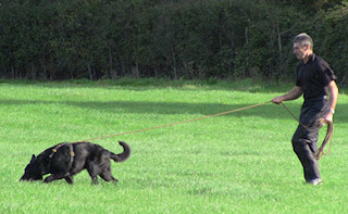 Dog tracking on lead and pulling handler behind