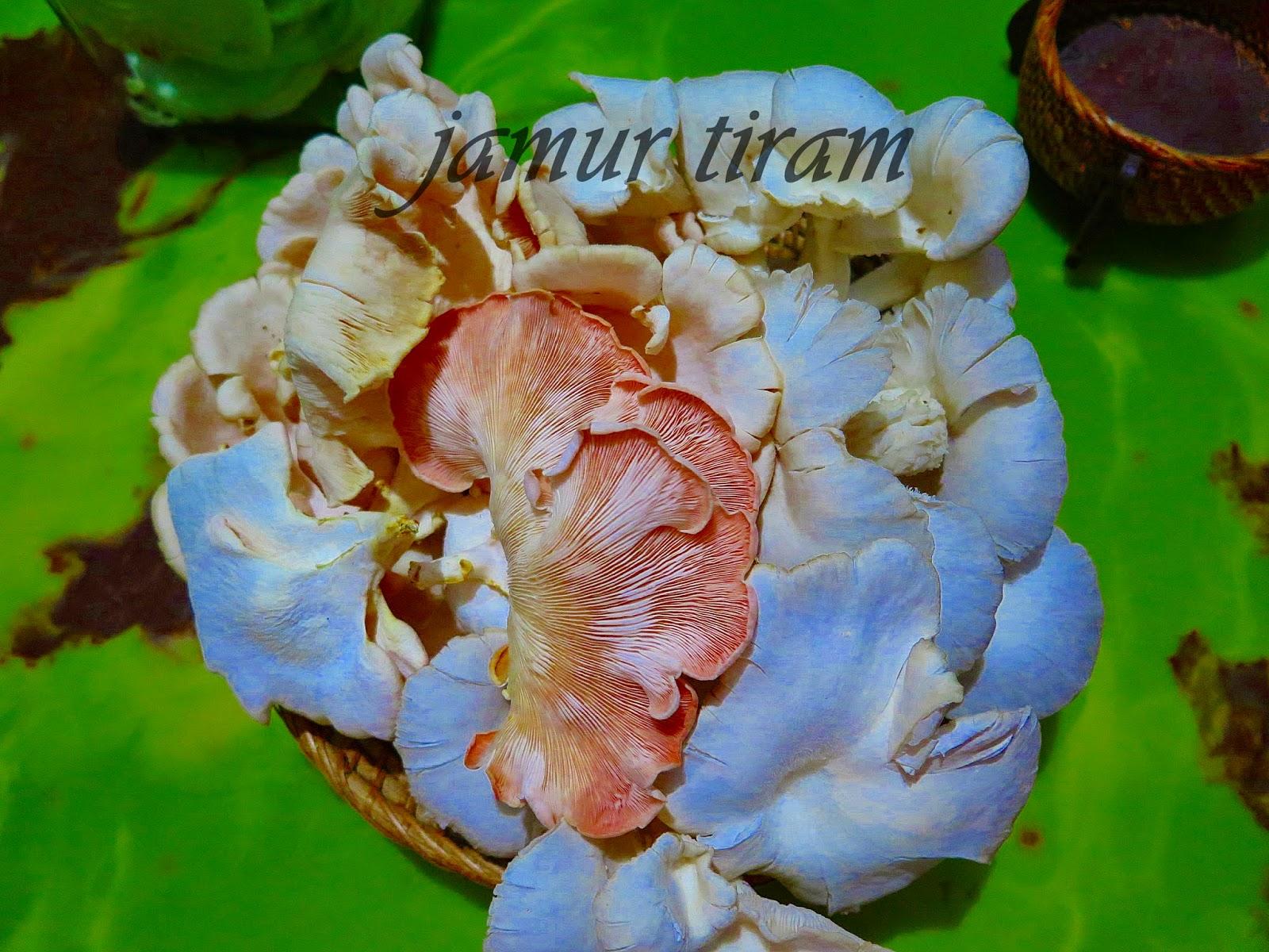 Panen Jamur tiram