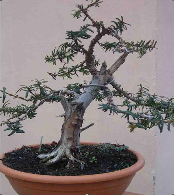 Cultivo del tejo en maceta casa dise o - Cultivo del bonsai ...
