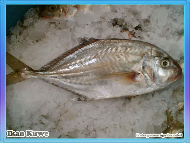 gambar ikan kuwe
