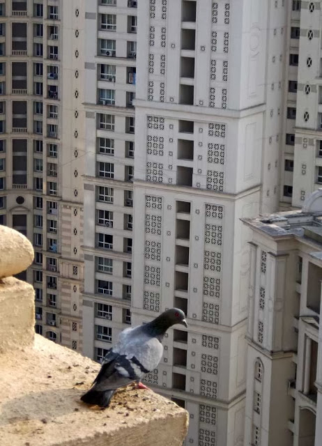 pigeon on a skycraper