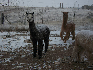 Alpacas in the blizzard
