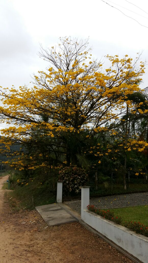 A graça do Ipê amarelo!