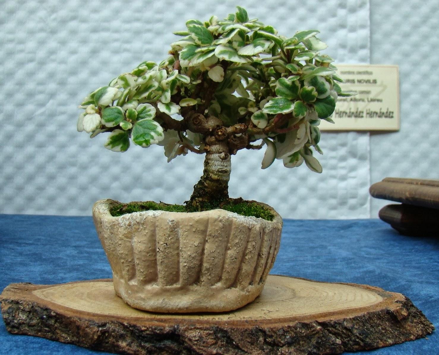 Tierra y agua 1 muestra de bonsai de poo de llanes final - Tierra para bonsais ...