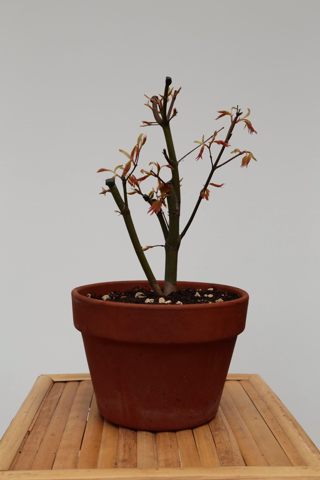 My Gardening Archive Orange Dream Smooth Japanese Maple