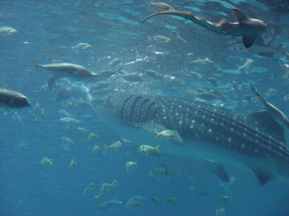 Giant Whale Shark http://seajellyprincess.blogspot.com/2012/03/tropical-waters-gentle-giant-whale.html