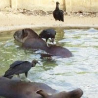 Urubus atacam animais feridos em zoológico de Itapetinga