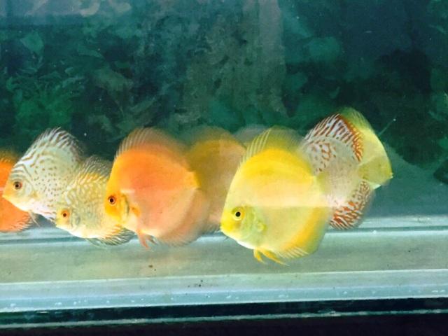 Joe 39 s aquaworld for exotic fishes mumbai india 9833898901 for Discus fish price