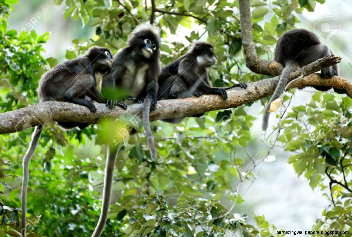 Dusky Leaf Monkeys In Tropical Rainforest Thailand Stock Photo