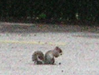 American gray squirrel