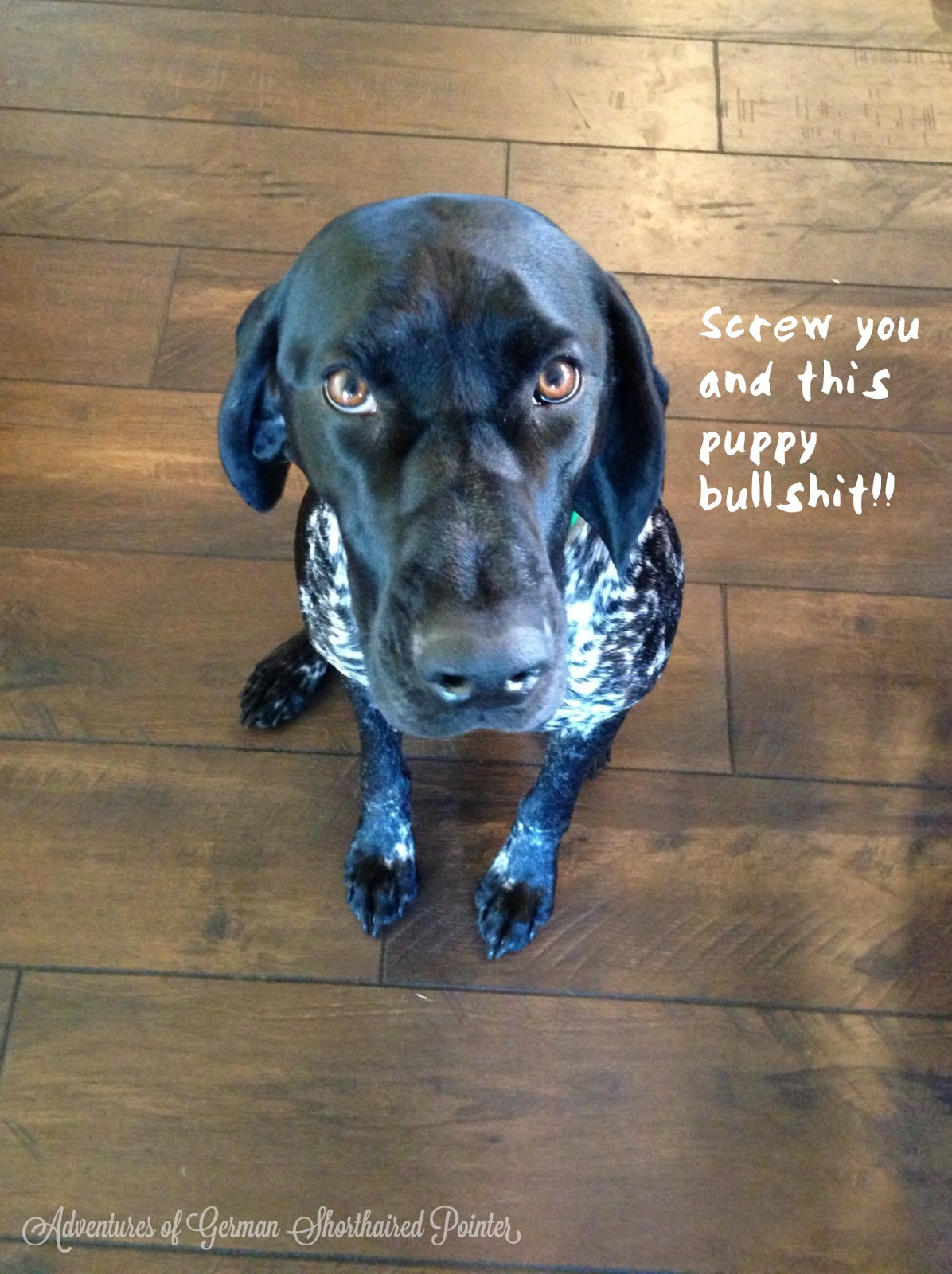 adventures of a gsp hunting dog