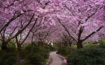 Caminito entre los árboles de flores púrpura (Fondito)