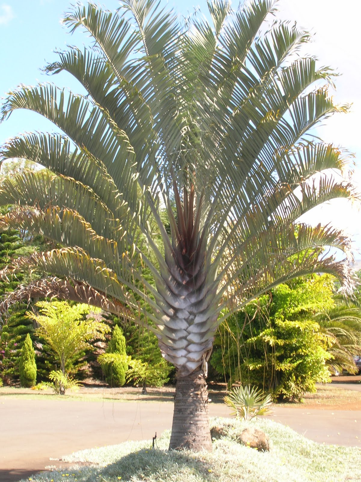 Home and garden triangle palm tree dypsis decaryi for Trees garden of jane delawney blogspot