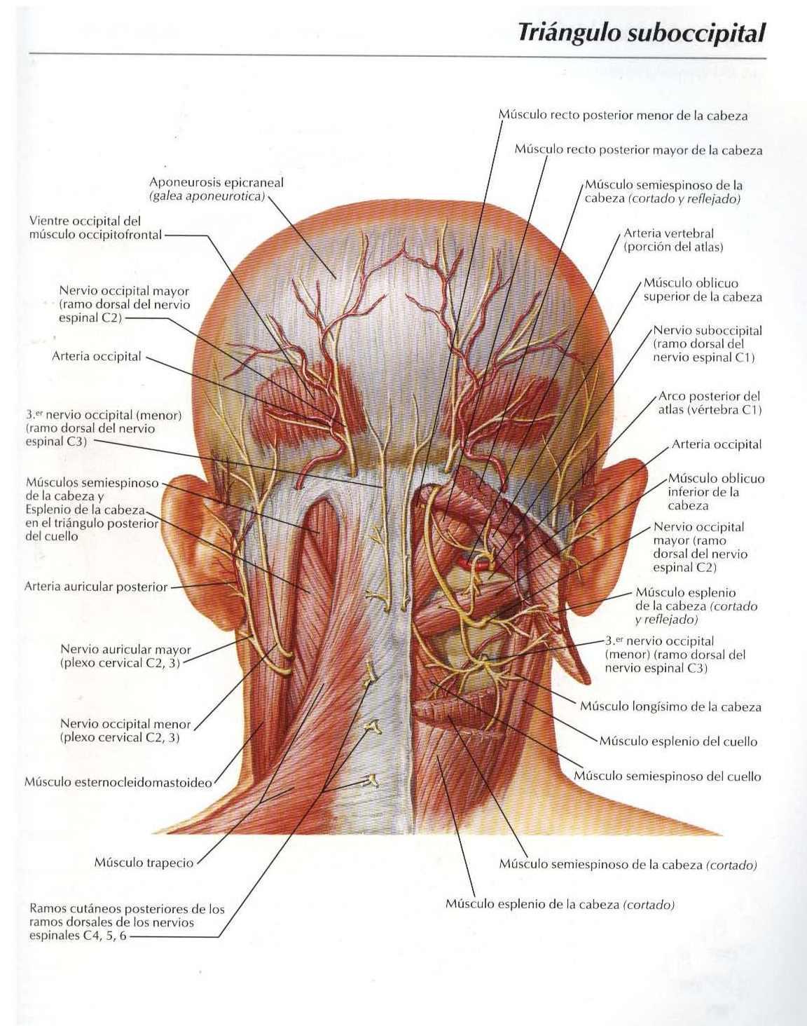 Atlas: Triángulo suboccipital - Salud, vida sana, la medicina ...