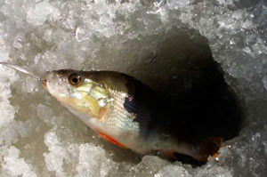 Зимняя ловля окуней на блесну